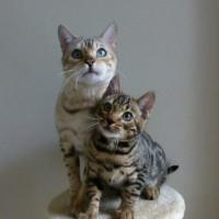 BengalKitty's picture