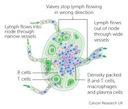 Diagram of a lymph nodeg cancer research uk a lymph node ccuart Gallery