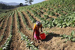 Image of tobacco being farmed