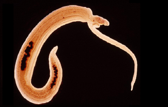 A pair of cancer causing blood worms