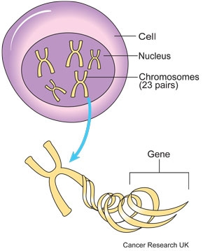 Diagram of a chromosome in a cell