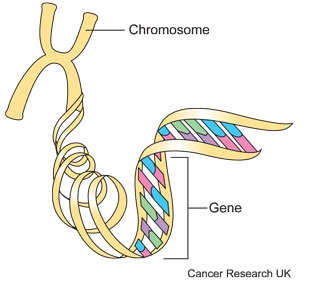 Diagram of a chromosome showing the genes