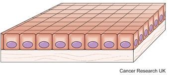 Diagram of basal cells