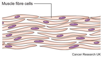 Diagram of muscle cells