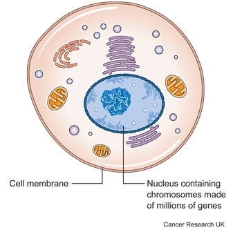 Diagram of cell showing genes and chromosomes