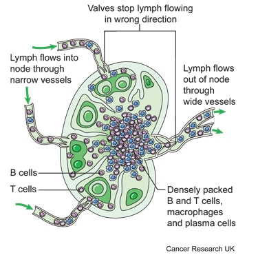 Diagram of a lymph node