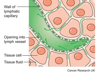 Diagram of a lymphatic capillary