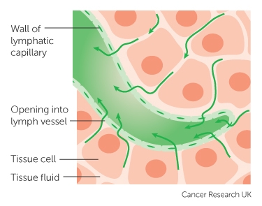 The lymphatic system and cancer cancer research uk a lymphatic capillary ccuart Image collections