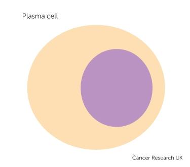 a plasma cell