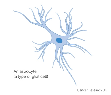 an astrocyte - a type of glial cell
