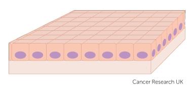 basal cells