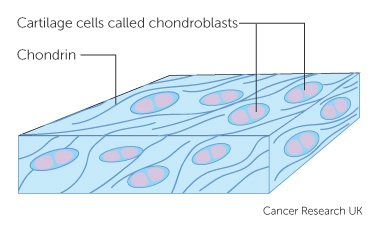 cartilage cells called chondroblasts