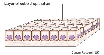 Diagram of epithelial cells