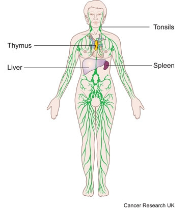 Diagram of the lymphatic system