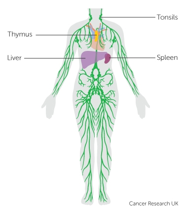 The lymphatic system and cancer cancer research uk the lymphatic system ccuart Images