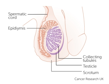 the testicles
