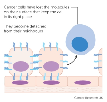 Cancer Cells Cancer Research Uk