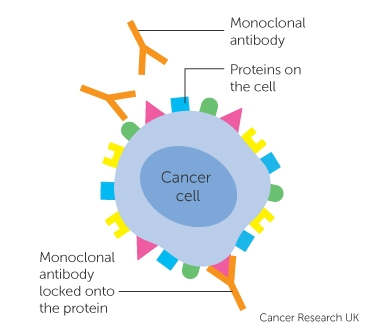 a monoclonal antibody attached to a cancer cell