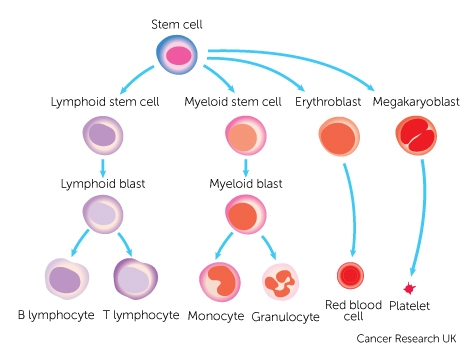 Red blood diagram auto electrical wiring diagram cancer the blood and circulation cancer research uk rh cancerresearchuk org red blood cells diagram labelled simple red blood cell diagram ks3 ccuart Gallery