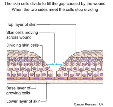 Diagram showing how cells know when to stop dividing