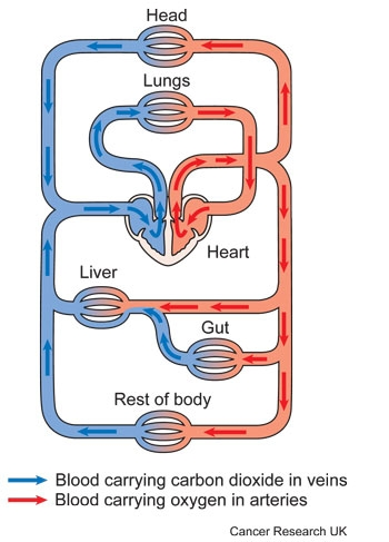 Diagram showing the circulatory system