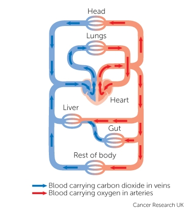 Cancer the blood and circulation cancer research uk the circulatory system of the body ccuart Image collections