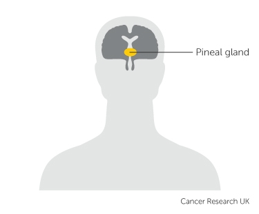 the position of the pineal gland in the brain