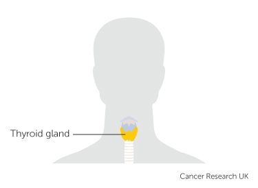 the position of the thyroid gland