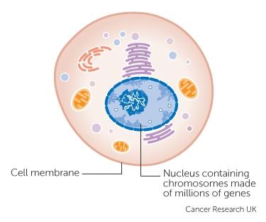 dove i geni sono nelle cellule
