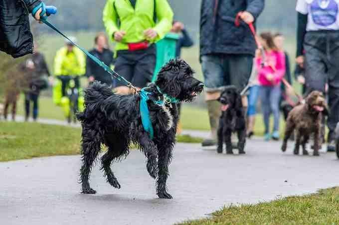 Dogs walking with people to raise money for Cancer Research UK.