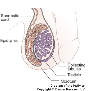 Diagram of a testicle